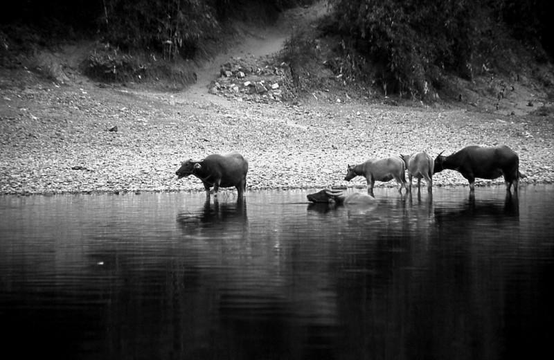 344  Yangshuo - buffaloes