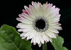 """Gerber Daisy""<br /> Images by Martin McKenzie<br /> All Rights Reserved"