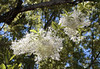 """White Fringe Tree"" ~ Chionanthus virginicus<br /> Images by Martin McKenzie<br /> All Rights Reserved"