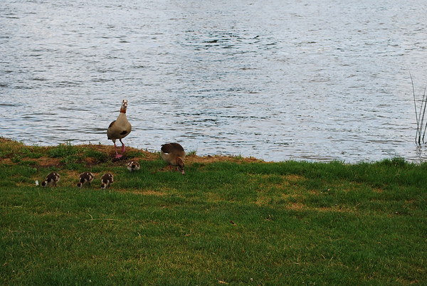 Duck family on the Neckar