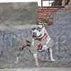 Street art in Woodstock, Cape Town: Pitbull by Mzayiya, 2011