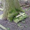 A large Oak tree growing through a headstone