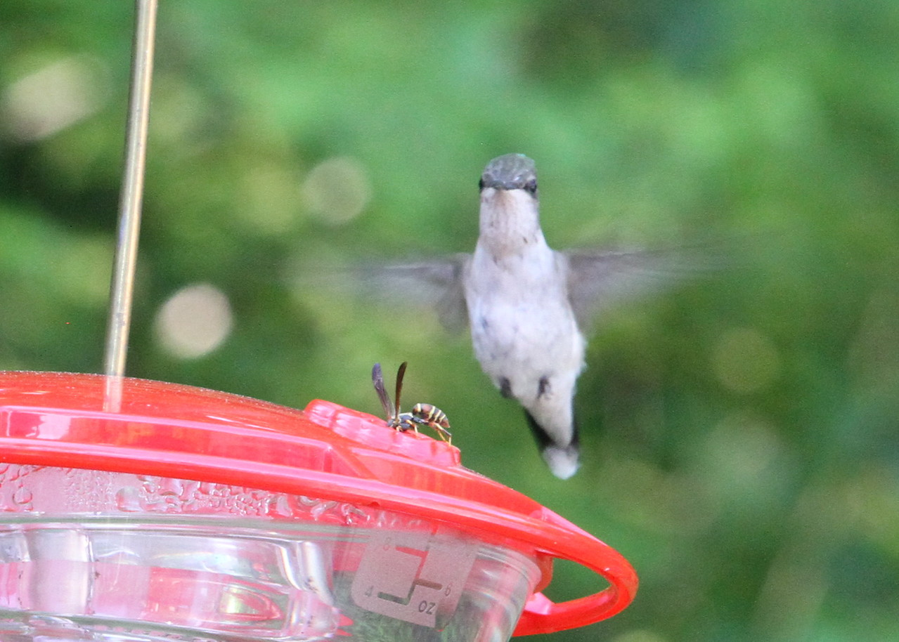 Humming Bird and the Bee