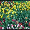 Tulips in Chicago's Millennium Park