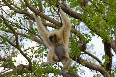 Monkey in the trees at Miami-Dade County Metro Zoo.