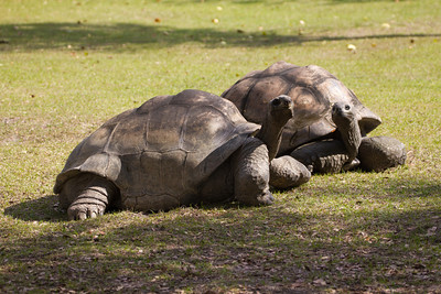 Giant Tortoise on the prowl at Miami-Dade County Zoo.