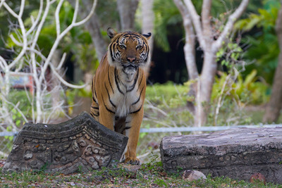 OK, it's a Tiger at Miami-Dade County Metro Zoo.