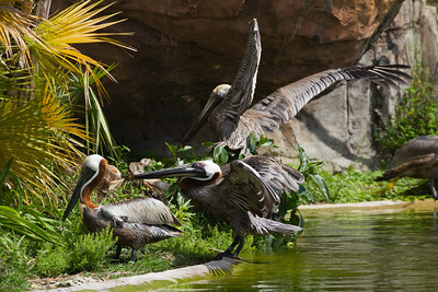 Pelican species enjoying the atmosphere at Miami Zoo.