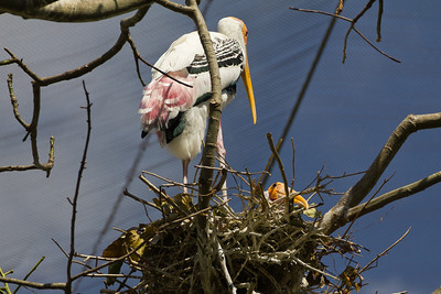 I am Stork, I build nests in the tops of trees.