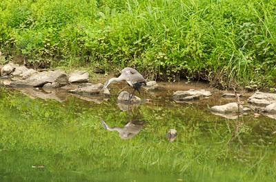 Blue Heron in Patapsco