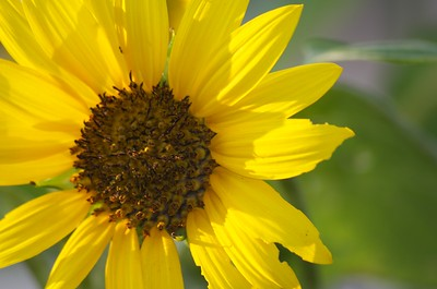 Sunflower in detail