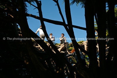 Boys in the crown of Marcrocarpa tree in Wellingtons Botanical Gardens, Oct 2010.  Model released; no, for editorial & personal use.