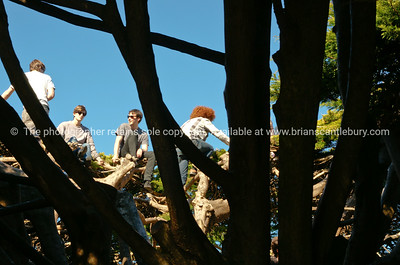 Boys in the crown of Marcrocarpa tree in Wellingtons Botanical Gardens, Oct 2010. New Zealand.  Model released; no, for editorial & personal use.