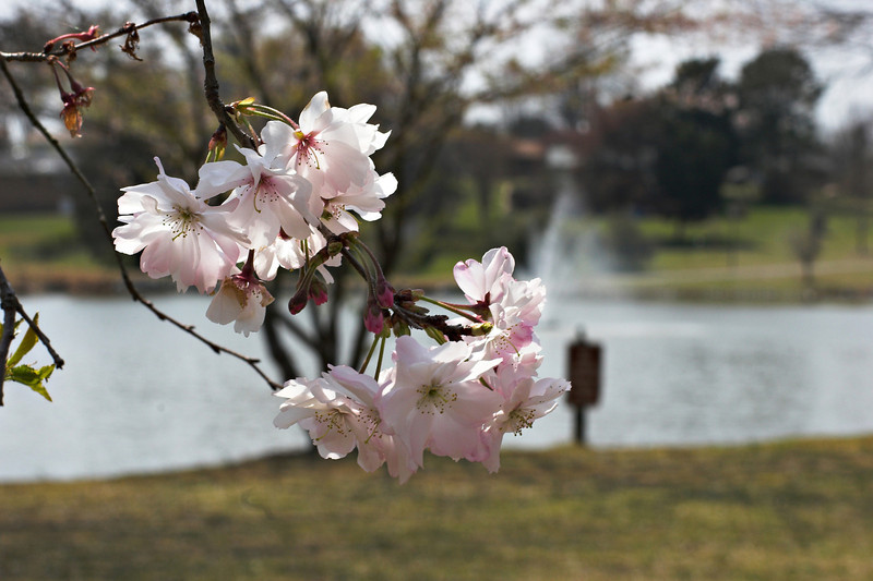 davidson north carolina   nc cherry blossom lake fountain