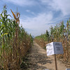 Los Angeles State Park, cornfield