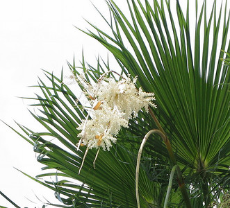 Beach Palm blooms.