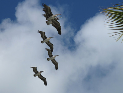A flight flock of Pelicans.
