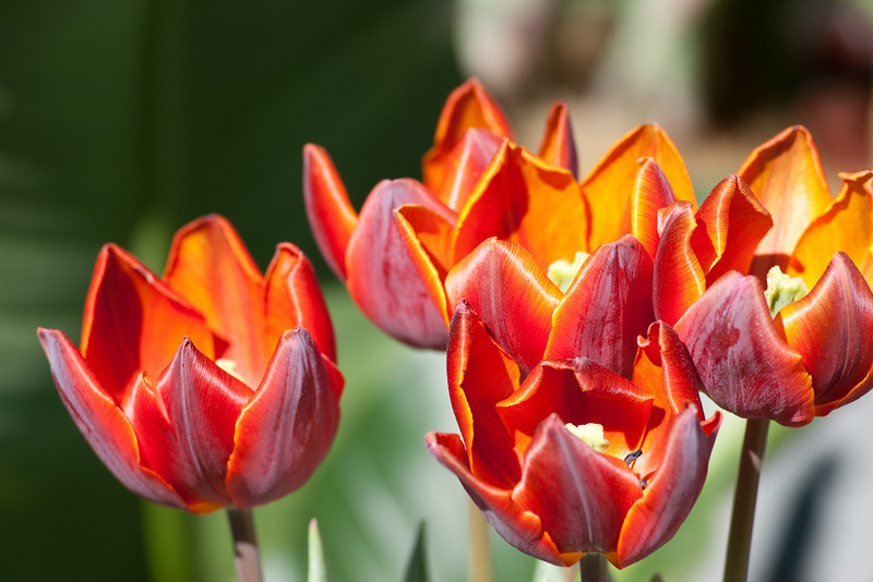 At the Canadian Tulip Festival.