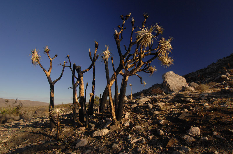 Toasted Joshua Trees in Queen Valley
