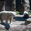 One of the Oregon Zoo's two polar bears.