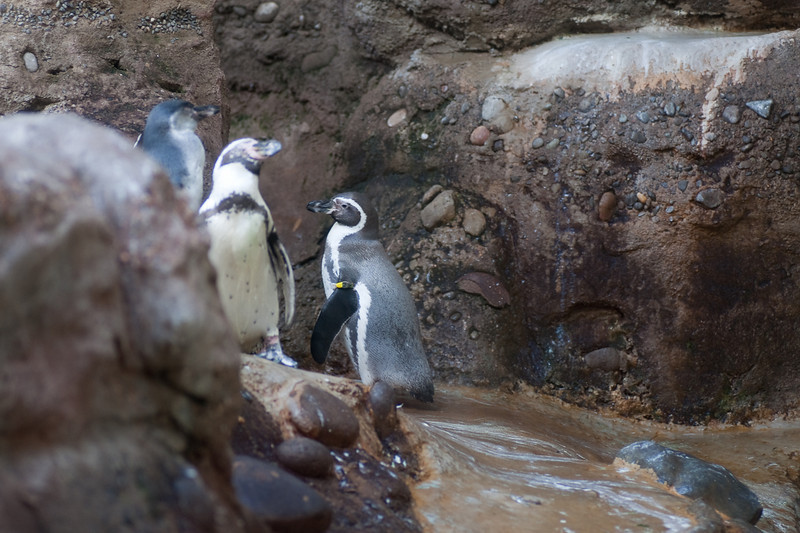 Penguins plot their escape from the Oregon Zoo.