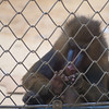 A Mandrill plucks its toenails at the Oregon Zoo.