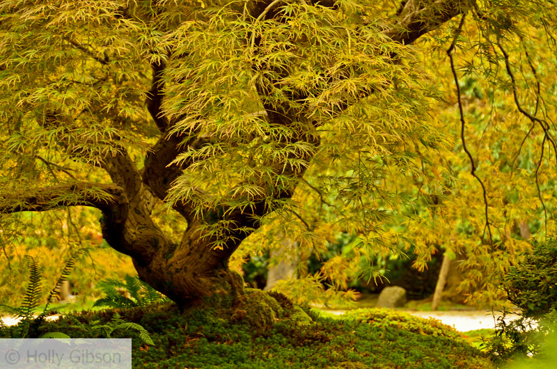 Japanese maple near sand/stone garden - Japanese Gardens, Portland