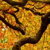 Japanese Maple - Japanese Gardens, Portland