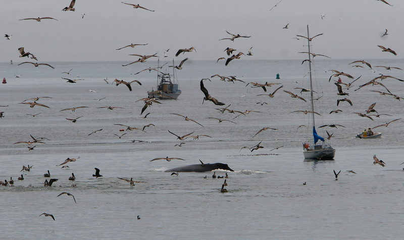 Humpback whale crusises through the inside harbor of Port San Luis