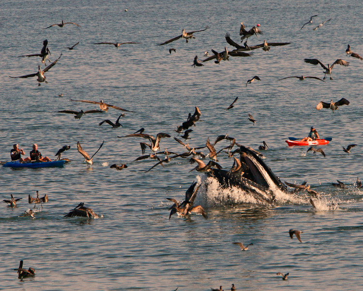 The water was so shallow that the whales came up at an angle into the bait balls.