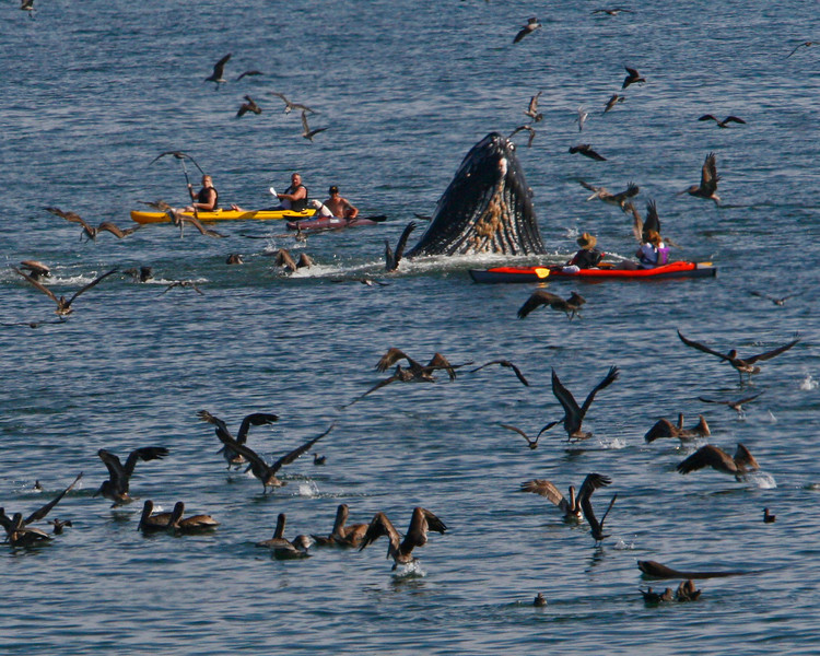 Whale almost takes out a kayak on a breech to get sardines