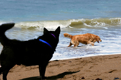 Moon-Doggie waits on the beach as his dog-surfer friend wades out of the waves after a ride.