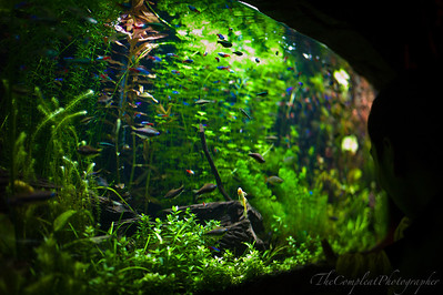 Tetras, Harlequins and a golden algae eater