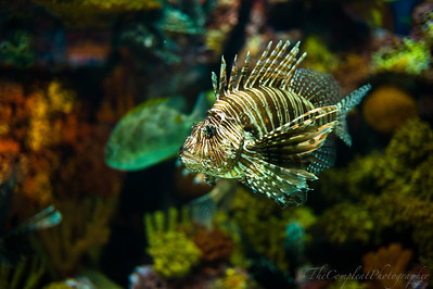 Lion Fish. Whats on his mind?