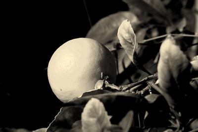 Lemon Tree B&W