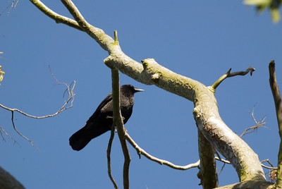 Crow in Tree Color