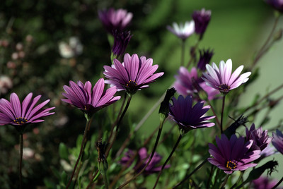 Purple Daisies reaching for the Sun