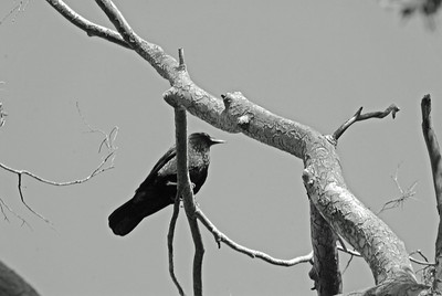 Blackbird in Tree in Black N White