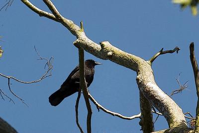 Blackbird in Tree Altered