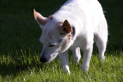 Star the almost 20 year old Russell Terrier