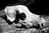 Canine Skull Found In Barton Creek Greenbelt Austin, Texas. Possibly a coyote skull.