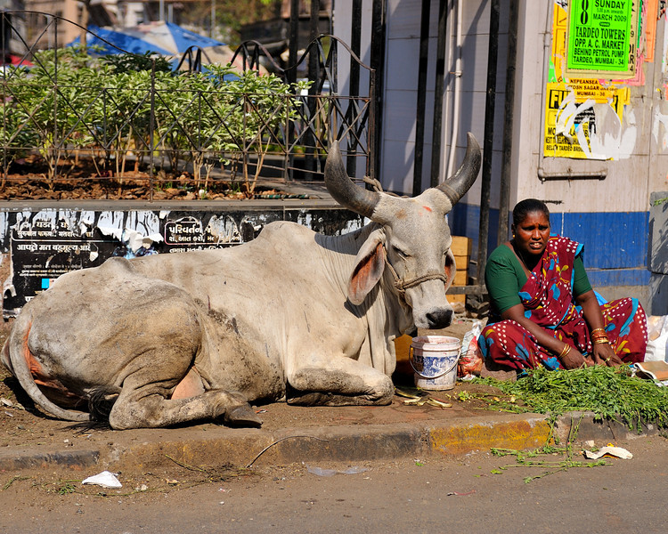 This Sacred Cow is her responsibility.  The pail has water and the plants for food.  Better than in New Delhi where the Cows wander about and fend for themselves(at least last time I was there)