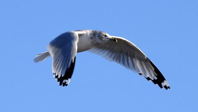 THE BIRDS - Gull on blue.