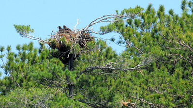 THE BIRDS - 2 baby eagles waiting to leave the nest.