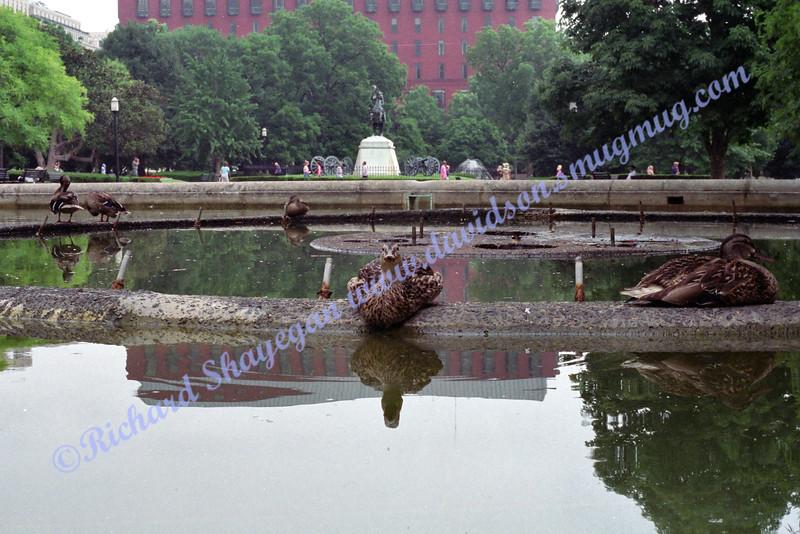 Duck in Lafayette Park/Square