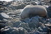 A cute but stinky young male Fur Seal at Red Rocks on Wellington's south coast