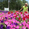 Pam Culley with Bartlett Landscaping works on the flowers on the island at the corner of Mill Street and Haws Street near the Mall at Whitney Field in Leominster, Tuesday afternoon. SENTINEL & ENTERPRISE/JOHN LOVE