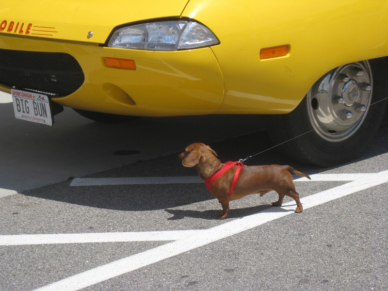 what is this lil' dood of a 'wiener-dog' looking at