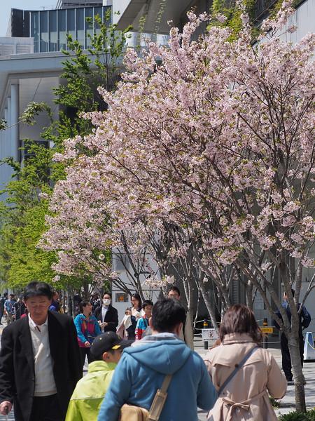 若干季節外れな桜達。