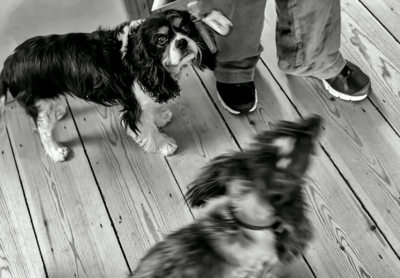 Balance with dogs - Elliott Erwitt style